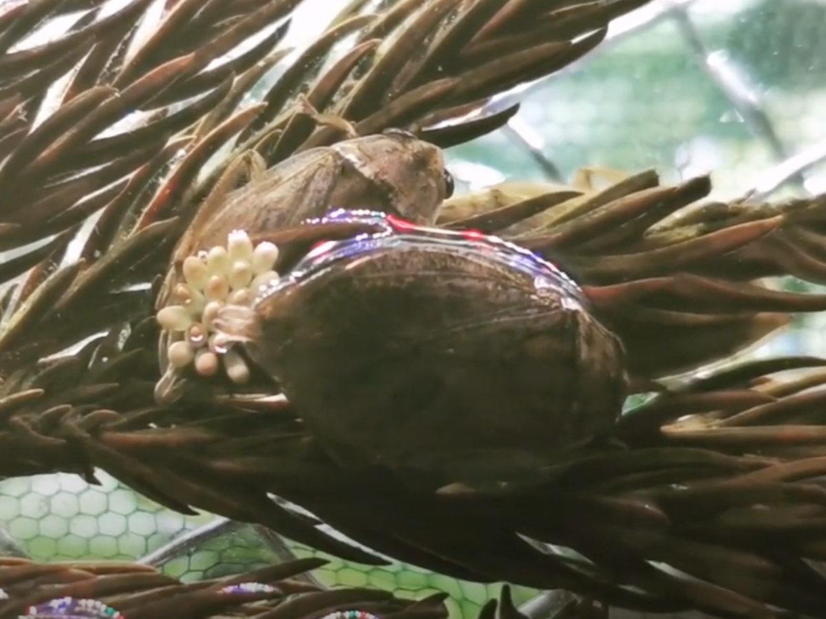 コオイムシの産卵