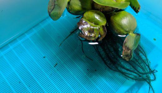 メダカの産卵用水槽をリセット