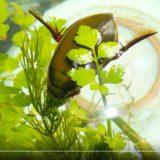 水草を齧るゲンゴロウ(オス)_-_YouTube