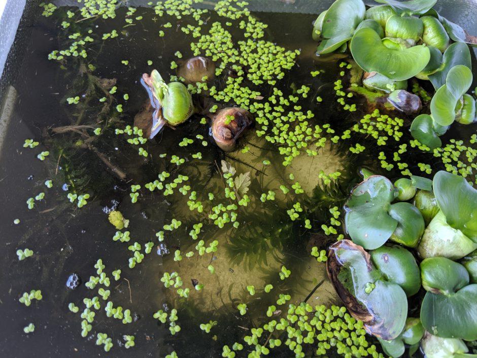 水面を覆う浮草