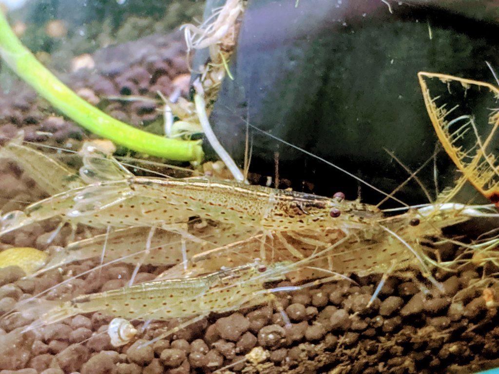 メスに群がるヤマトヌマエビ