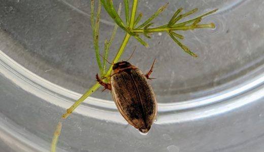 ヒメゲンゴロウの羽化!GWに採取した幼虫から新成虫が誕生
