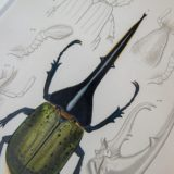 ヘラクレスオオカブト手彩色点刻銅版画