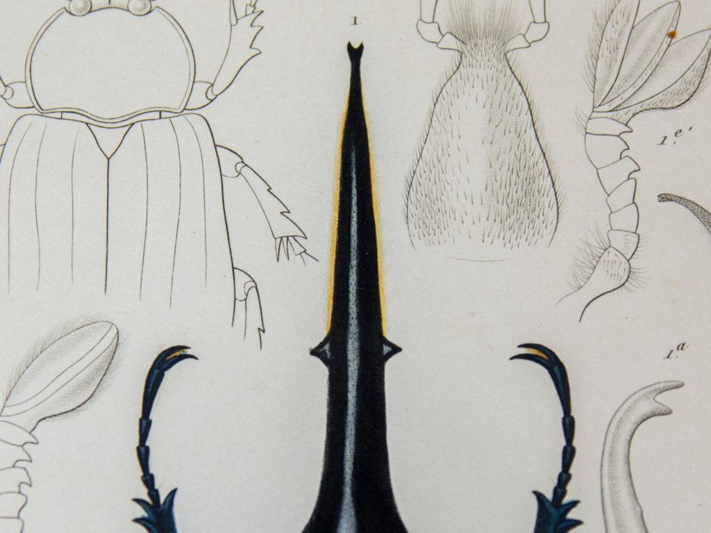 ヘラクレスオオカブト手彩色点刻銅版画(部分)