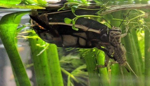 ゲンゴロウには生き餌?ヨーロッパイエコオロギ(イエコ)の飼育環境