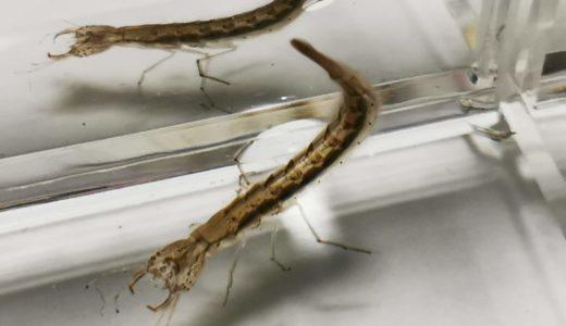 ゲンゴロウ幼虫の飼育記録(2019)