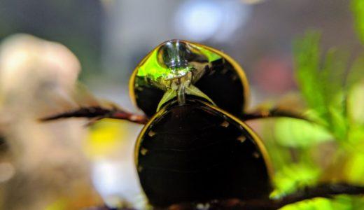 コガタノゲンゴロウの交尾を撮影(写真・動画)