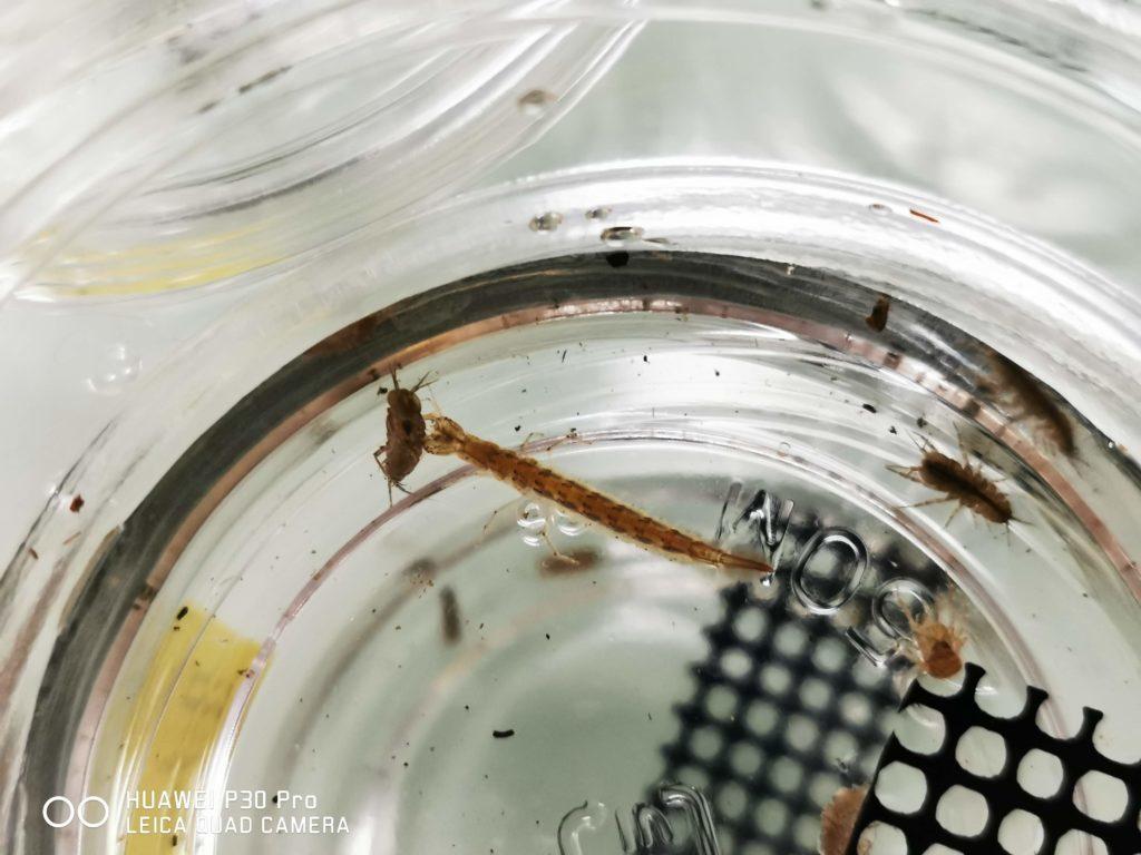 ミズムシを捕食するゲンゴロウ1令幼虫