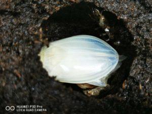 羽化直後の純白なゲンゴロウ
