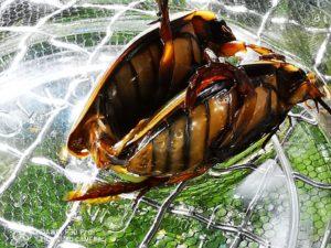 ナミゲンゴロウのオスが腹部を曲げて交尾器を出している様子