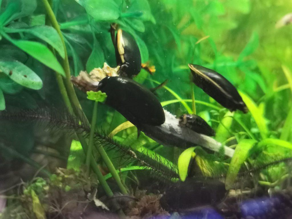 コガタノゲンゴロウ、クロゲンゴロウ、シマゲンゴロウ
