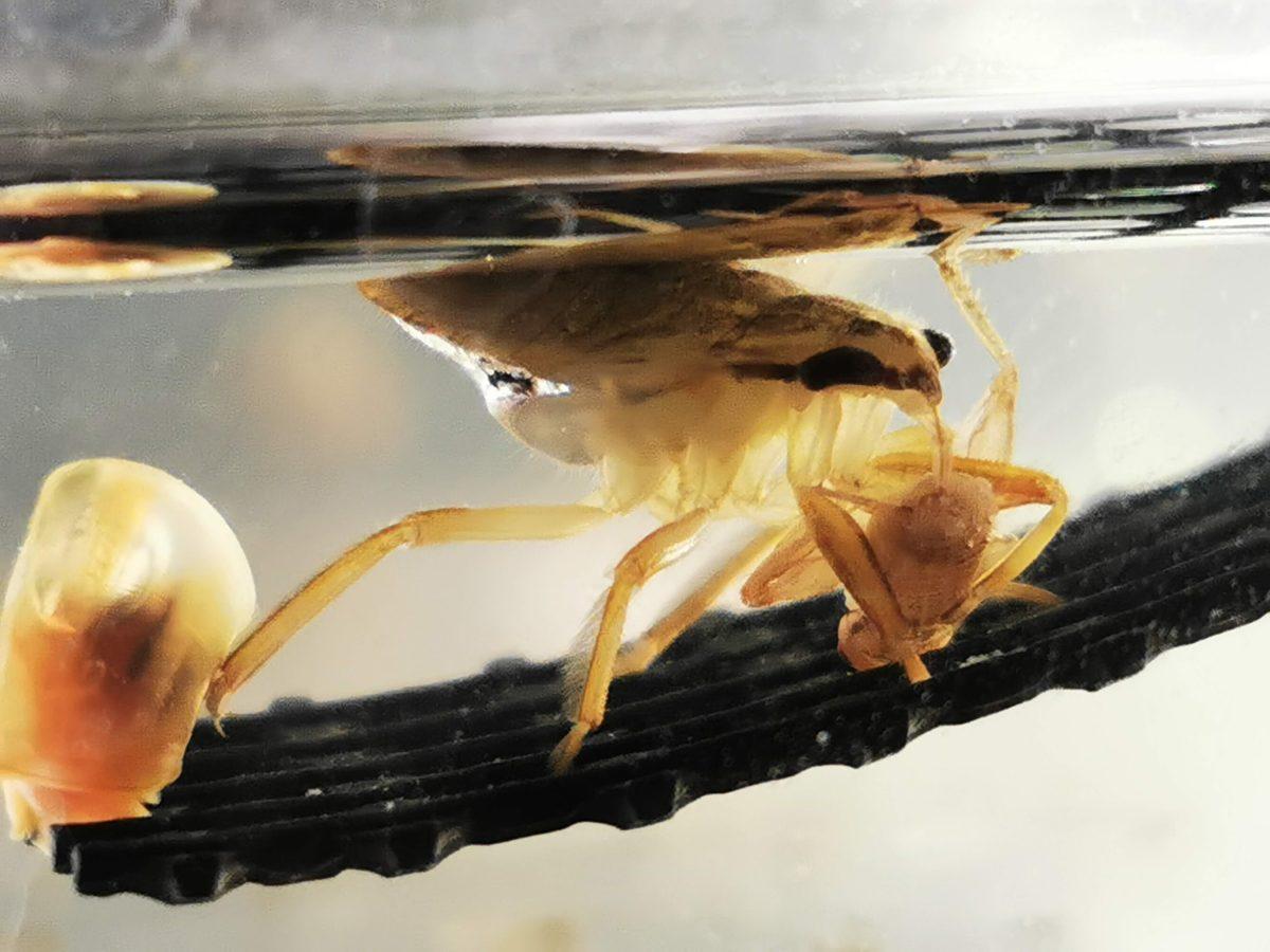 イエコを食べるコオイムシ4令幼虫