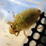 モノアラガイを食べるコオイムシ5令幼虫