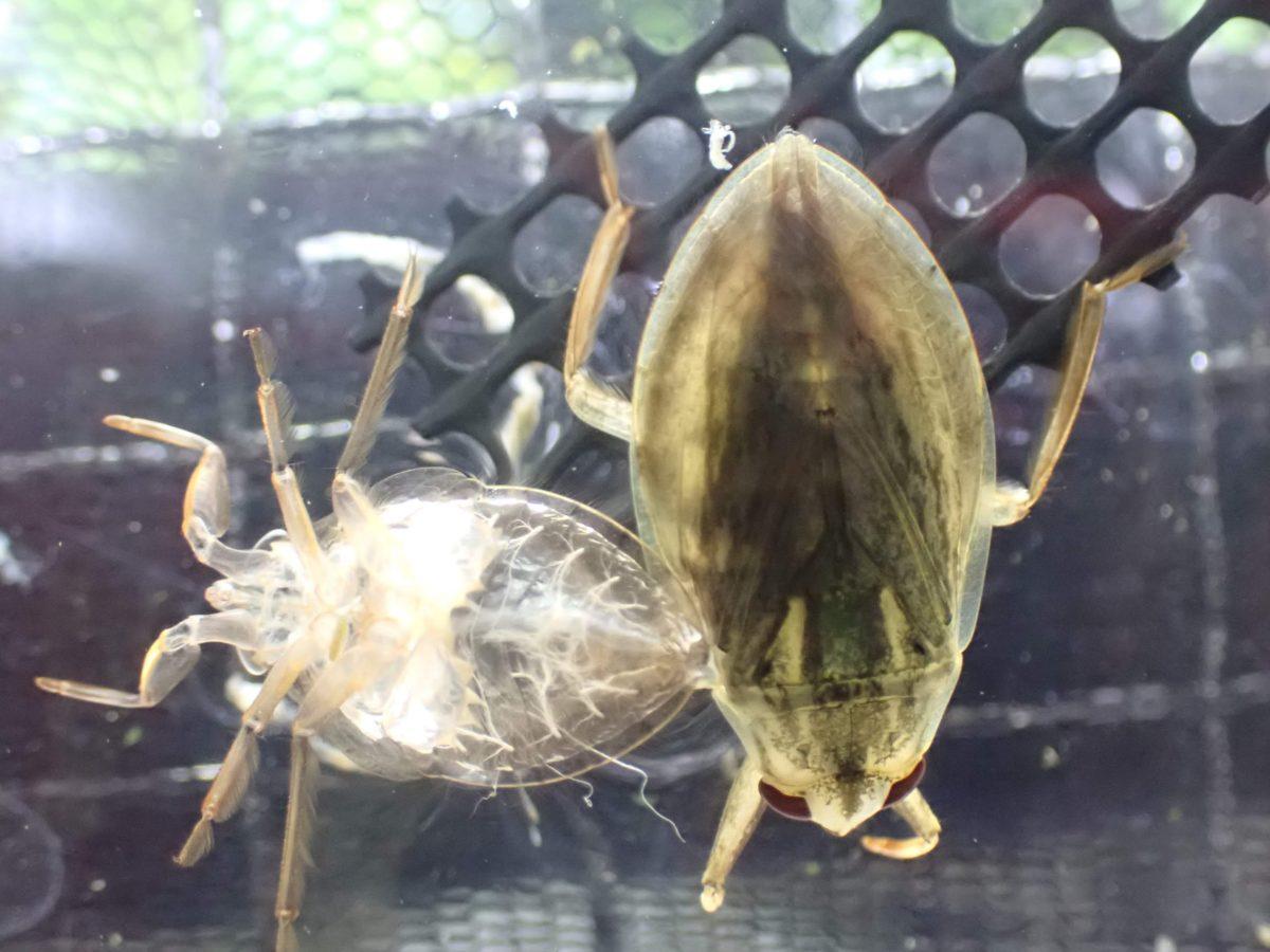 コオイムシの新成虫