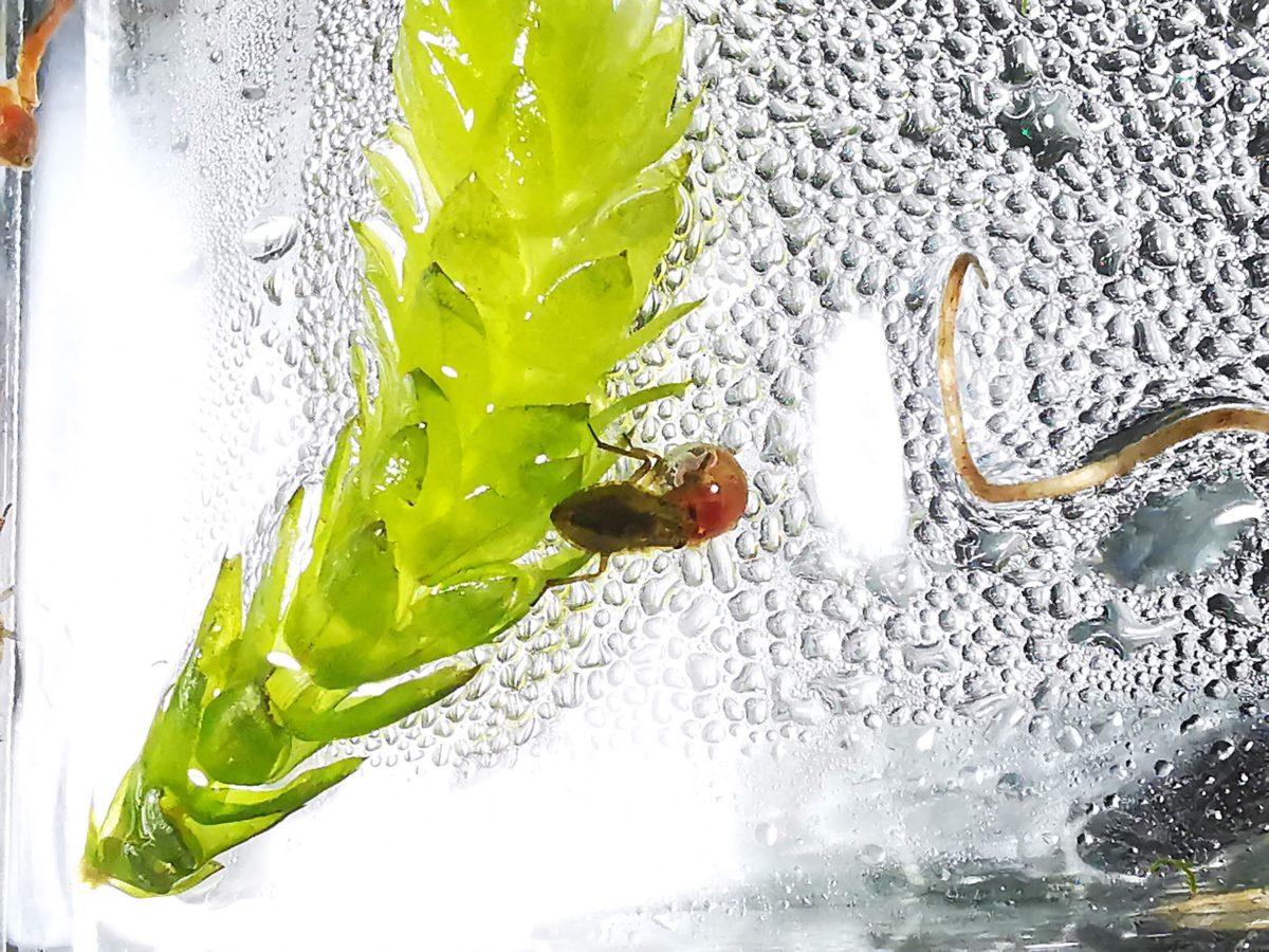 レッドラムズホーンを食べるコオイムシ