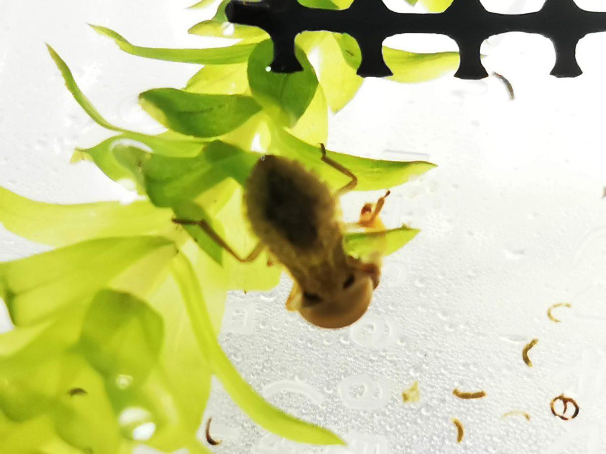 モノアラガイを食べるコオイムシ1令幼虫