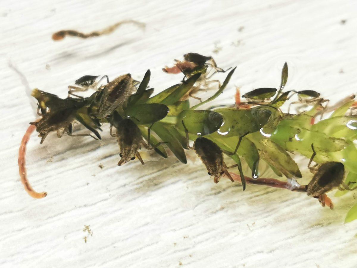コオイムシ2令幼虫の集団