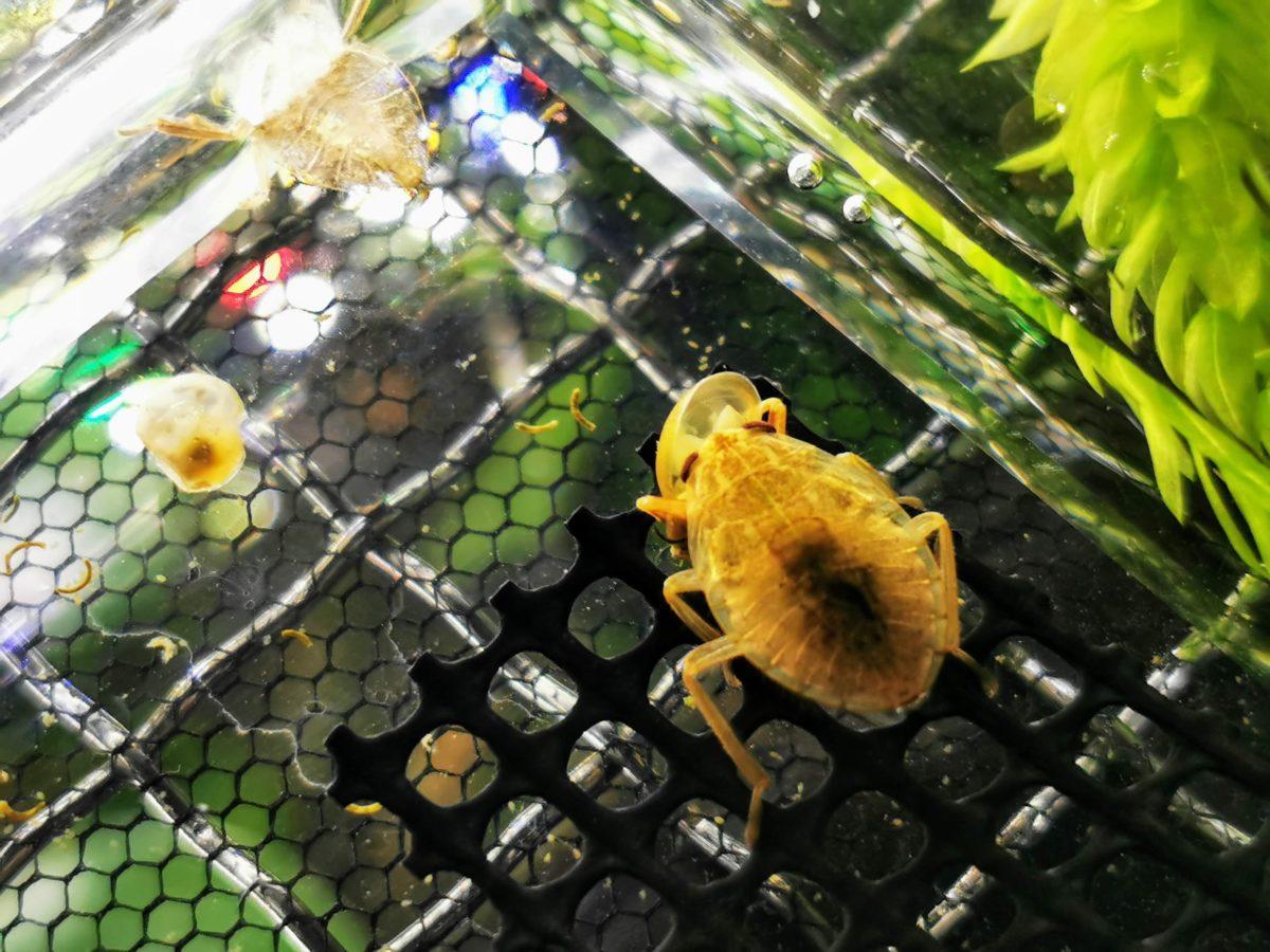 モノアラガイを食べるコオイムシ4令幼虫。