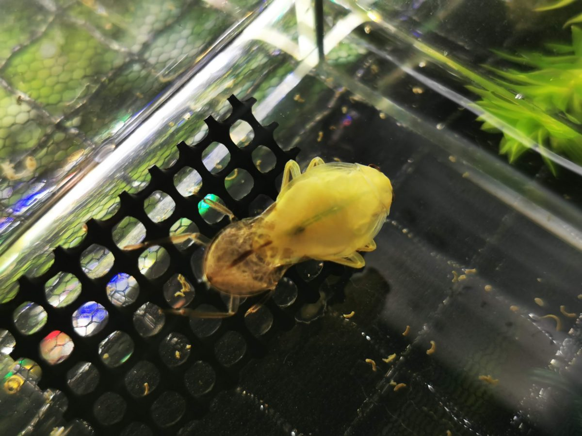 脱皮するコオイムシ幼虫。5令になる。