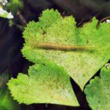 2月なのに早くもコガタノゲンゴロウ幼虫が出現
