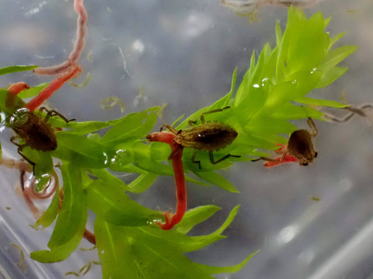 アカミミズを食べるコオイムシ幼虫
