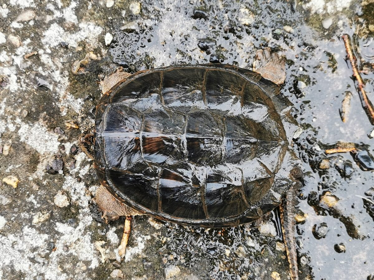 カミツキガメの甲羅