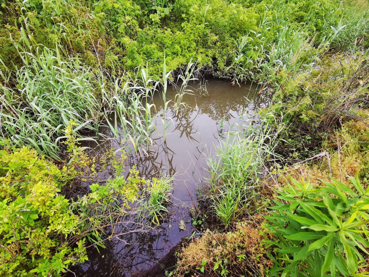 カミツキガメ生息域の水路
