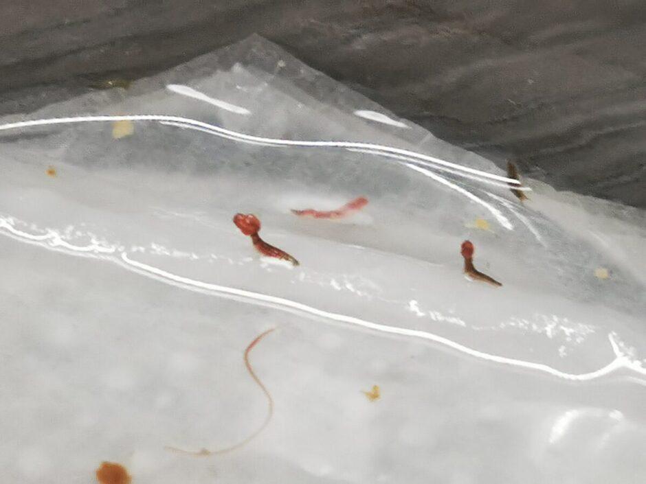餌を食べるタマガムシ1令幼虫