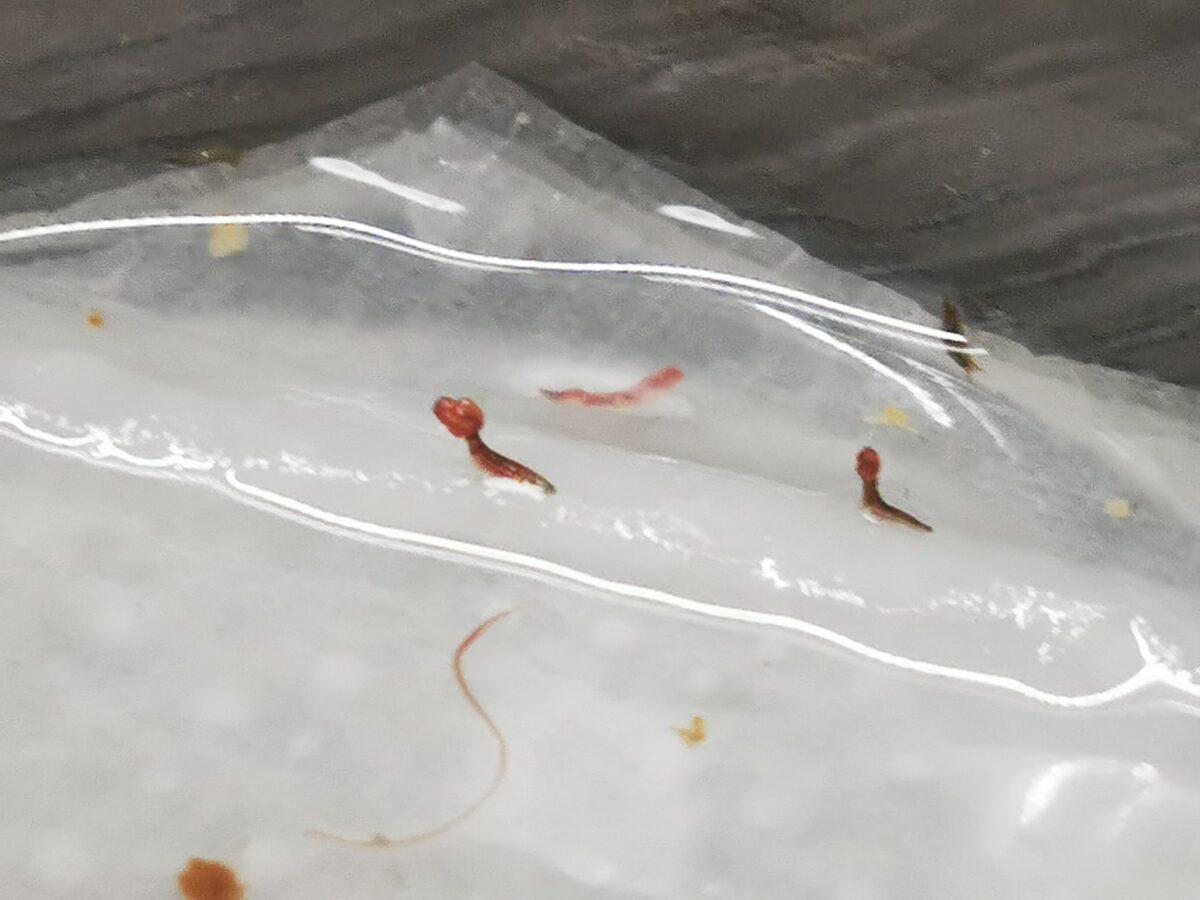 餌を食べるタマガムシ幼虫