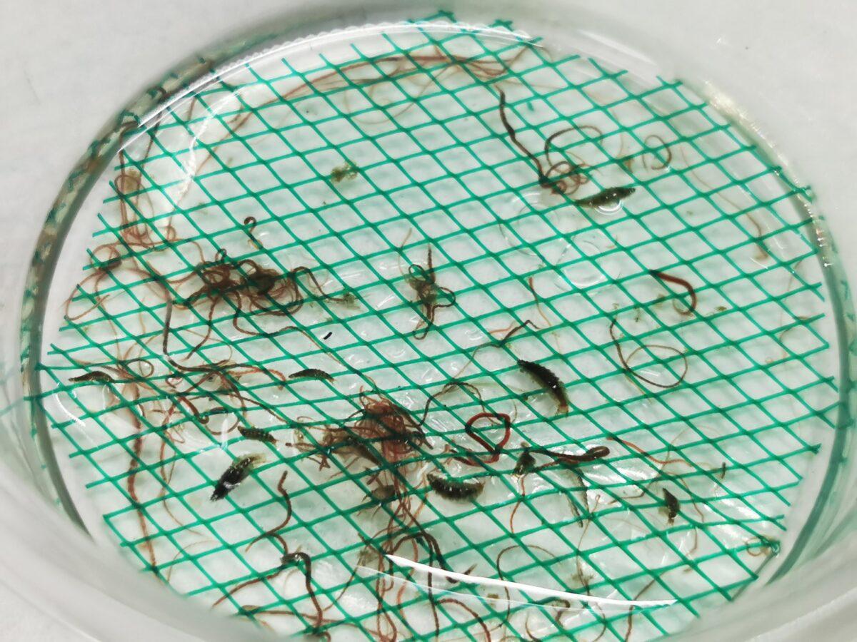 タマガムシ2-3令幼虫