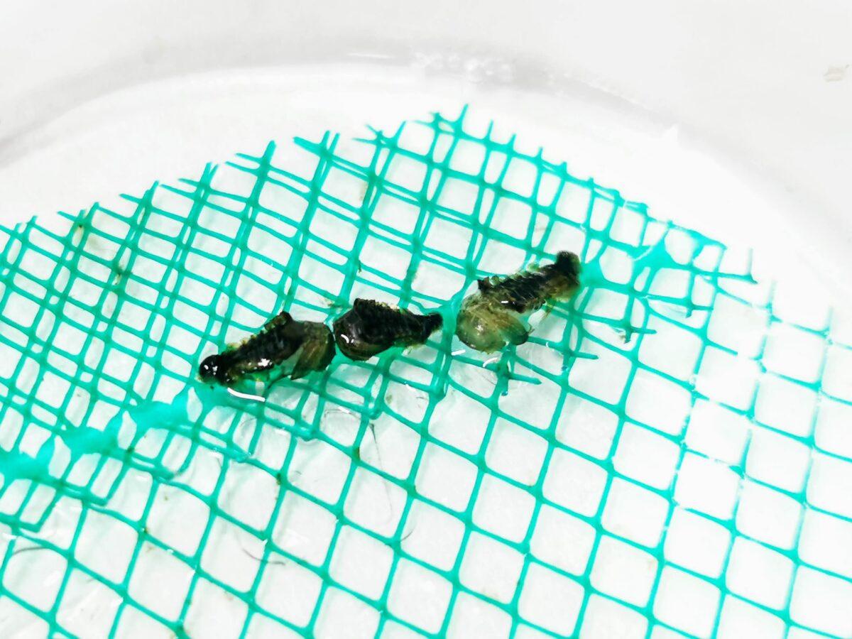タマガムシの蛹
