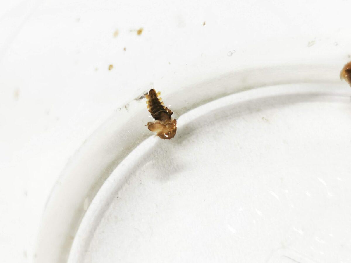 水面に浮くタマガムシの蛹