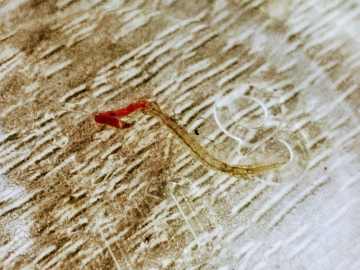 冷凍アカムシを食べるコガタノゲンゴロウ