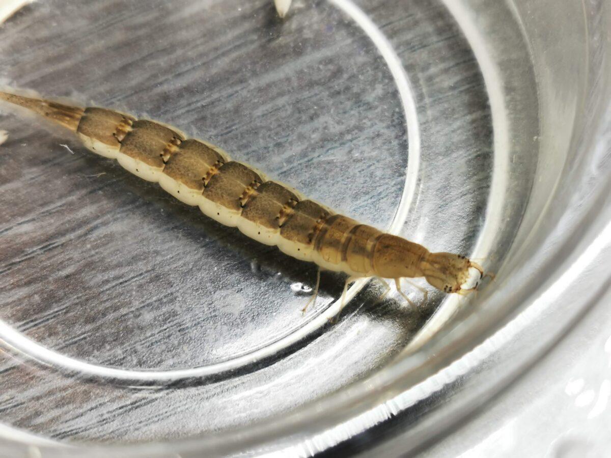 上陸が近いコガタノゲンゴロウ3令幼虫