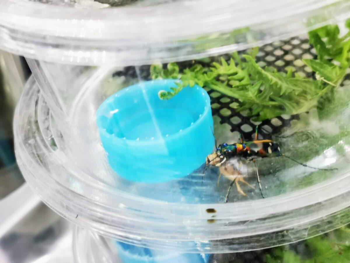 ハンミョウのプリンカップ飼育