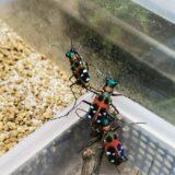 実は飼育可能!ハンミョウ飼育環境と幼虫の餌