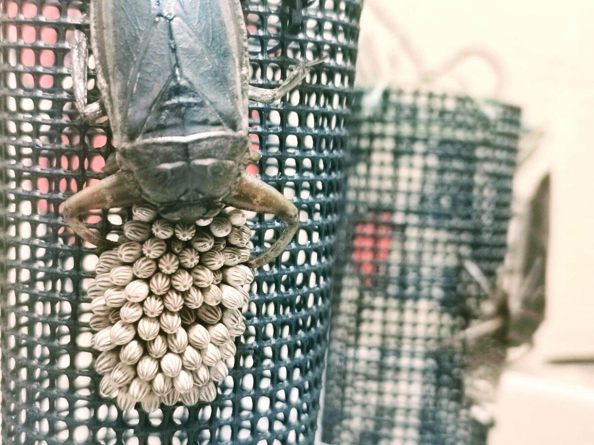 オスごと隔離したタガメの卵塊。奥にももう一組いる。