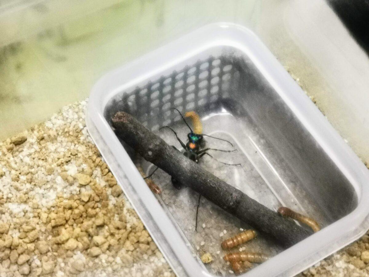 ミルワームを食べるハンミョウ