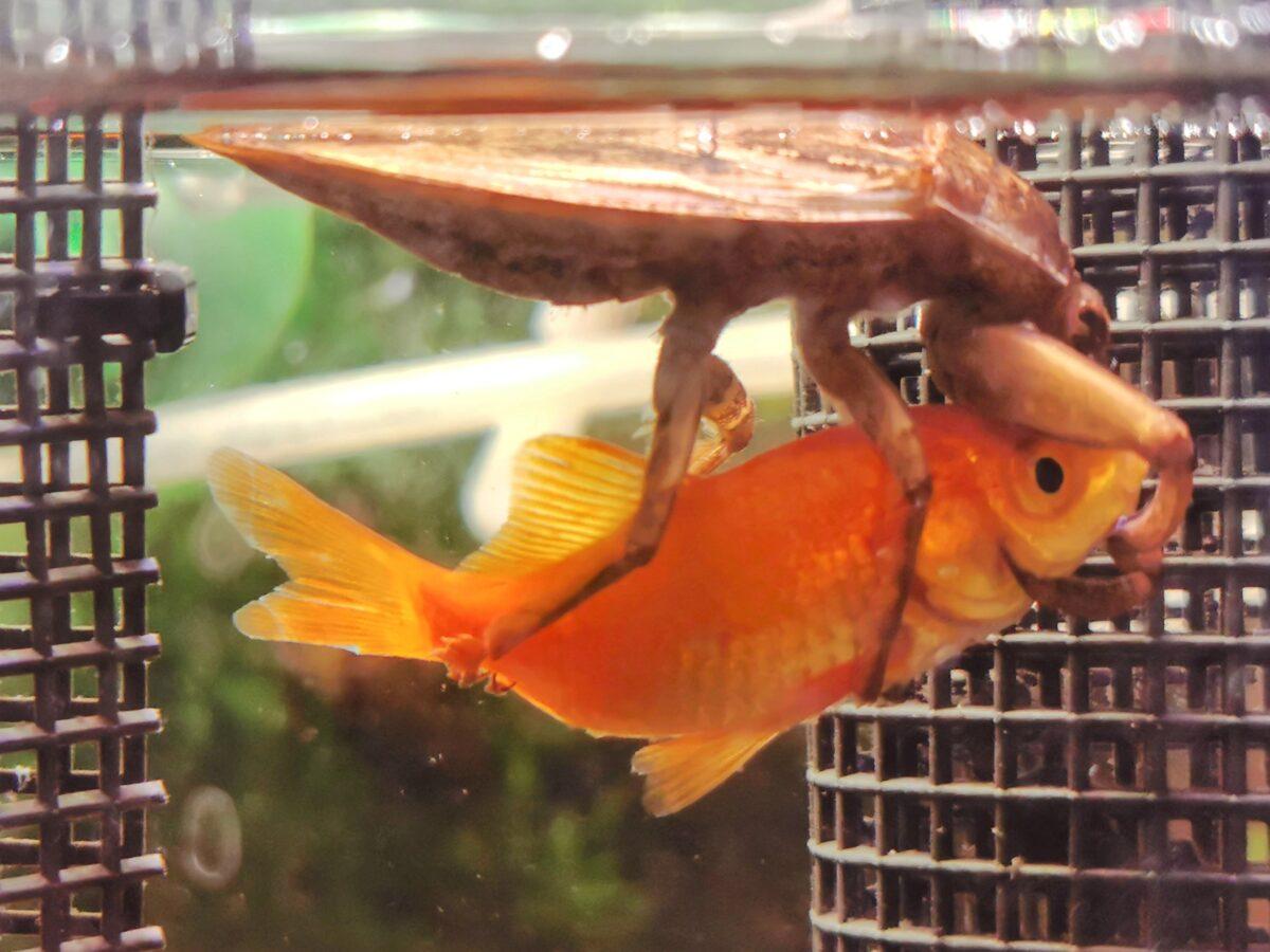 金魚を抱え込むタガメ