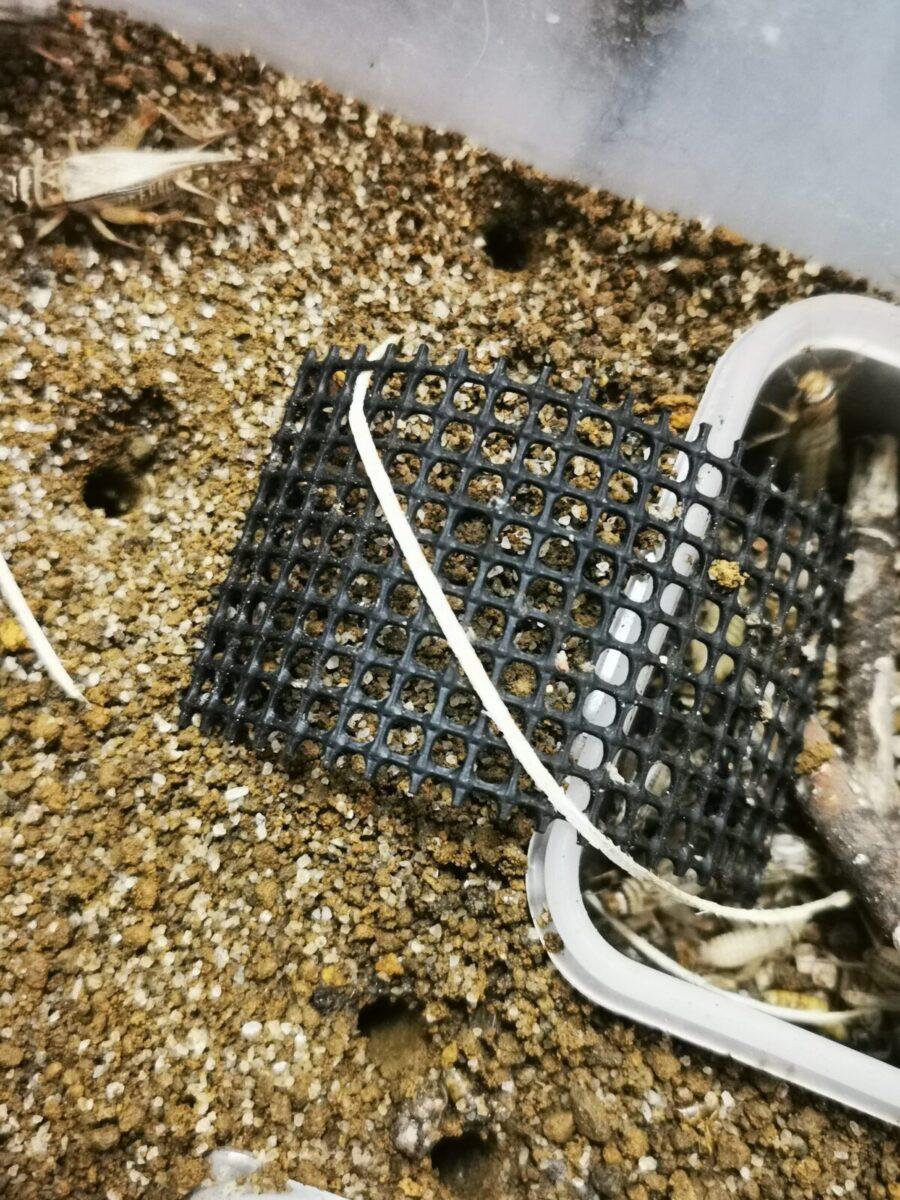ハンミョウ巣穴のサイズ感