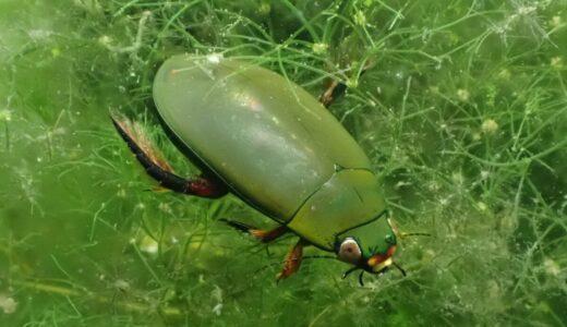 """身近な大型種""""クロゲンゴロウ""""の特徴と飼育、幼虫の育て方"""