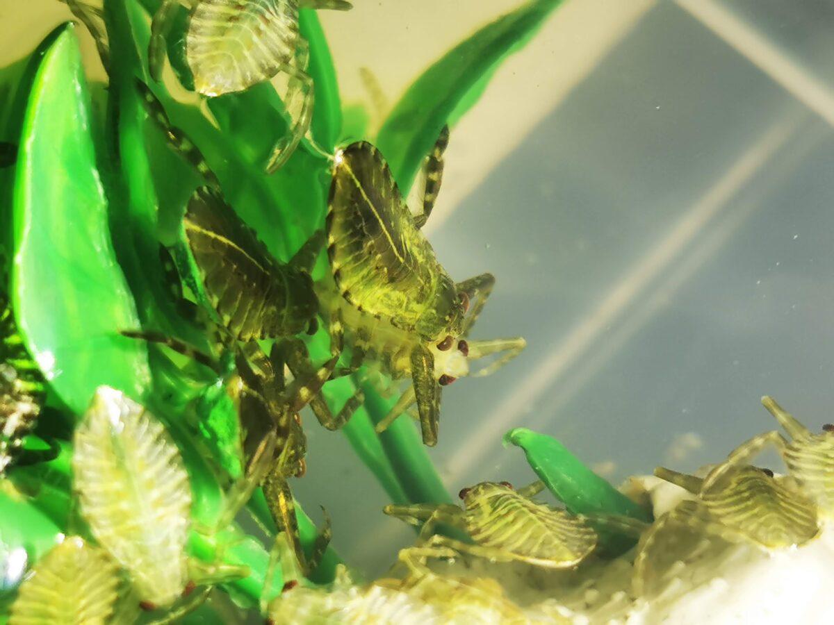 後発卵塊から生まれた幼虫を共食いするタガメ幼虫