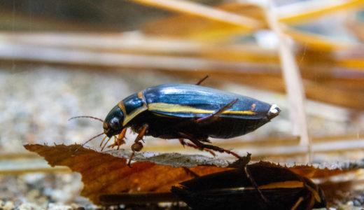 オウサマゲンゴロウモドキ幼虫の成長を見守る会