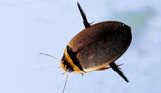 螺鈿模様が美しいマルガタゲンゴロウ!見た目はエイリアンな幼虫を飼育