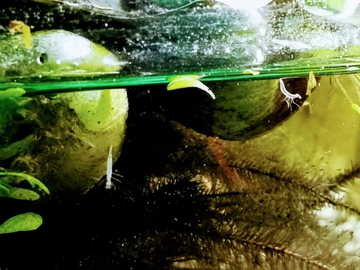 マルガタゲンゴロウ幼虫の出現