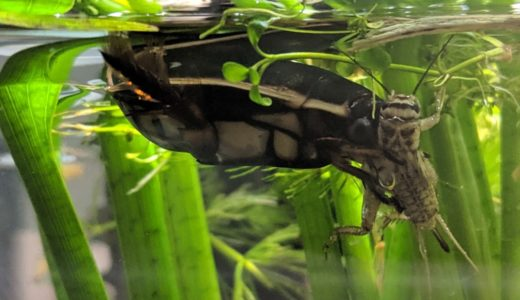 幼虫から成虫まで!コオロギはゲンゴロウ餌の万能選手