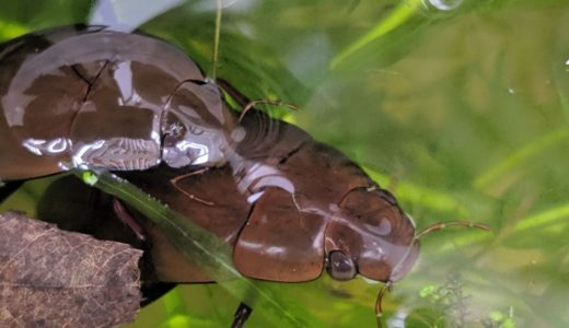ガムシとゲンゴロウの違い!成虫の飼育方法や幼虫の育て方