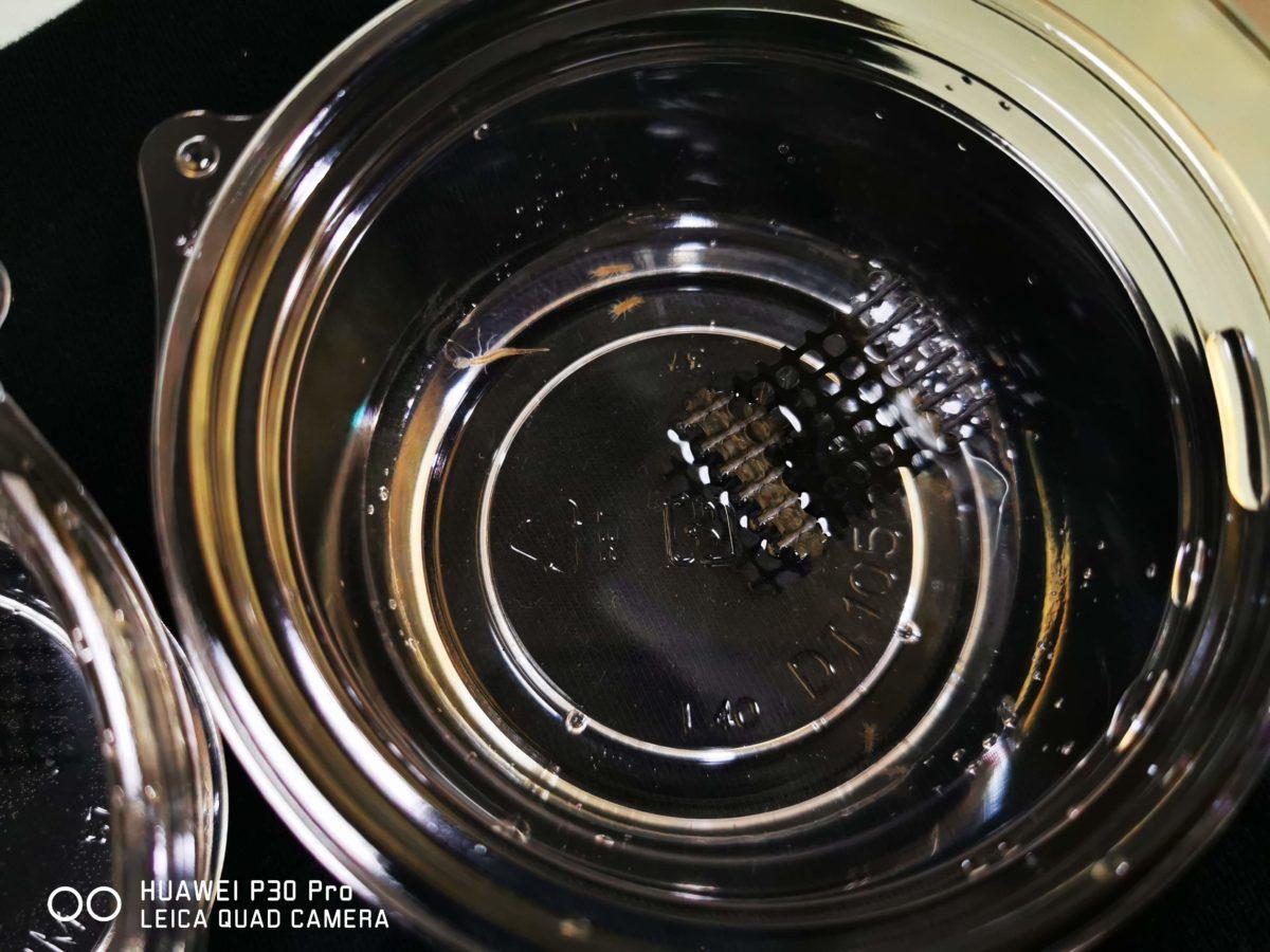 コガタノゲンゴロウ幼虫をプラカップで個別飼育