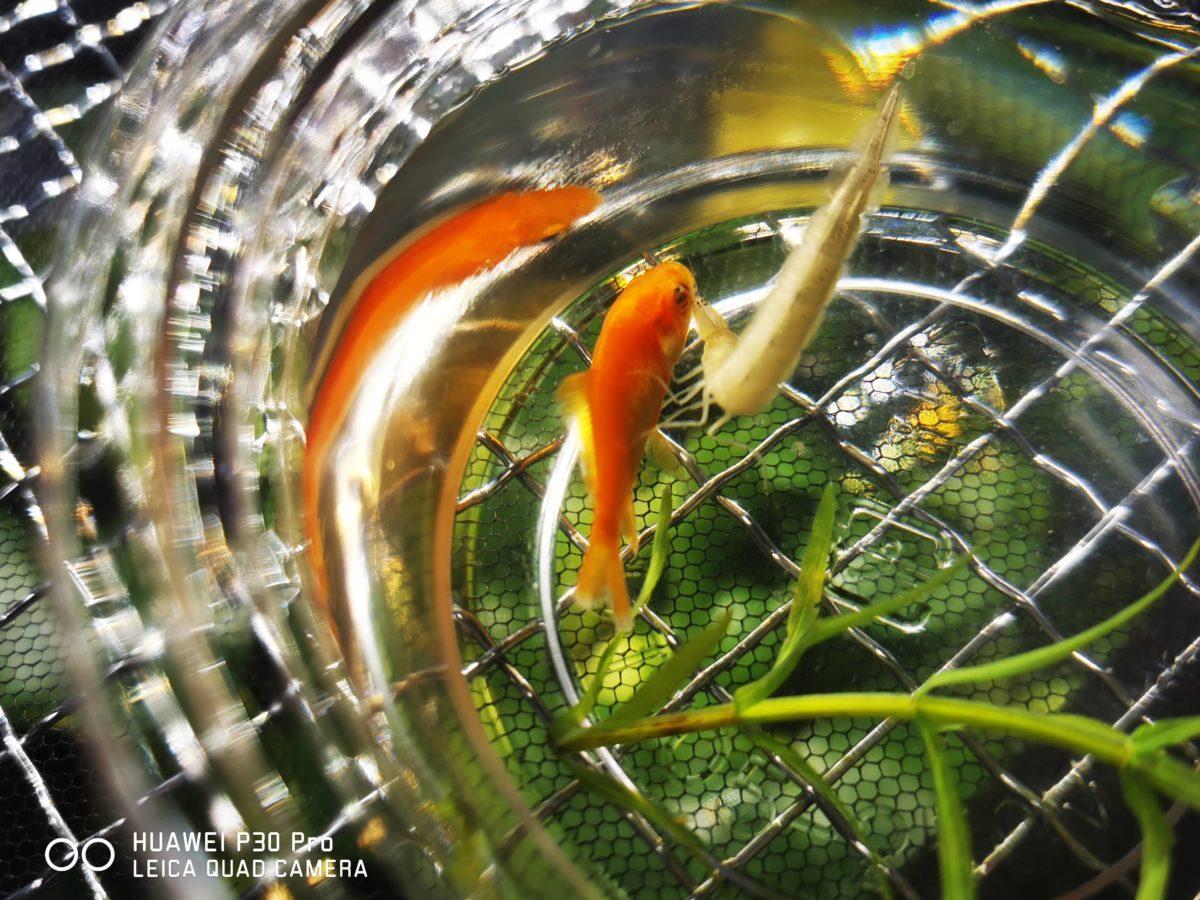 小赤に襲いかかるコガタノゲンゴロウ3令幼虫