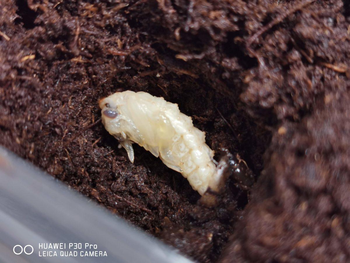 コガタノゲンゴロウの蛹